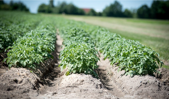 Potato processing: a profitable industry is facing a challenging year